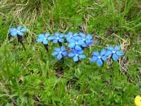 Es gibt natürlich auch unter den Pflanzten Verlierer der Klimaerwärmung: Der Bayerische Enzian könnte dazu gehören.