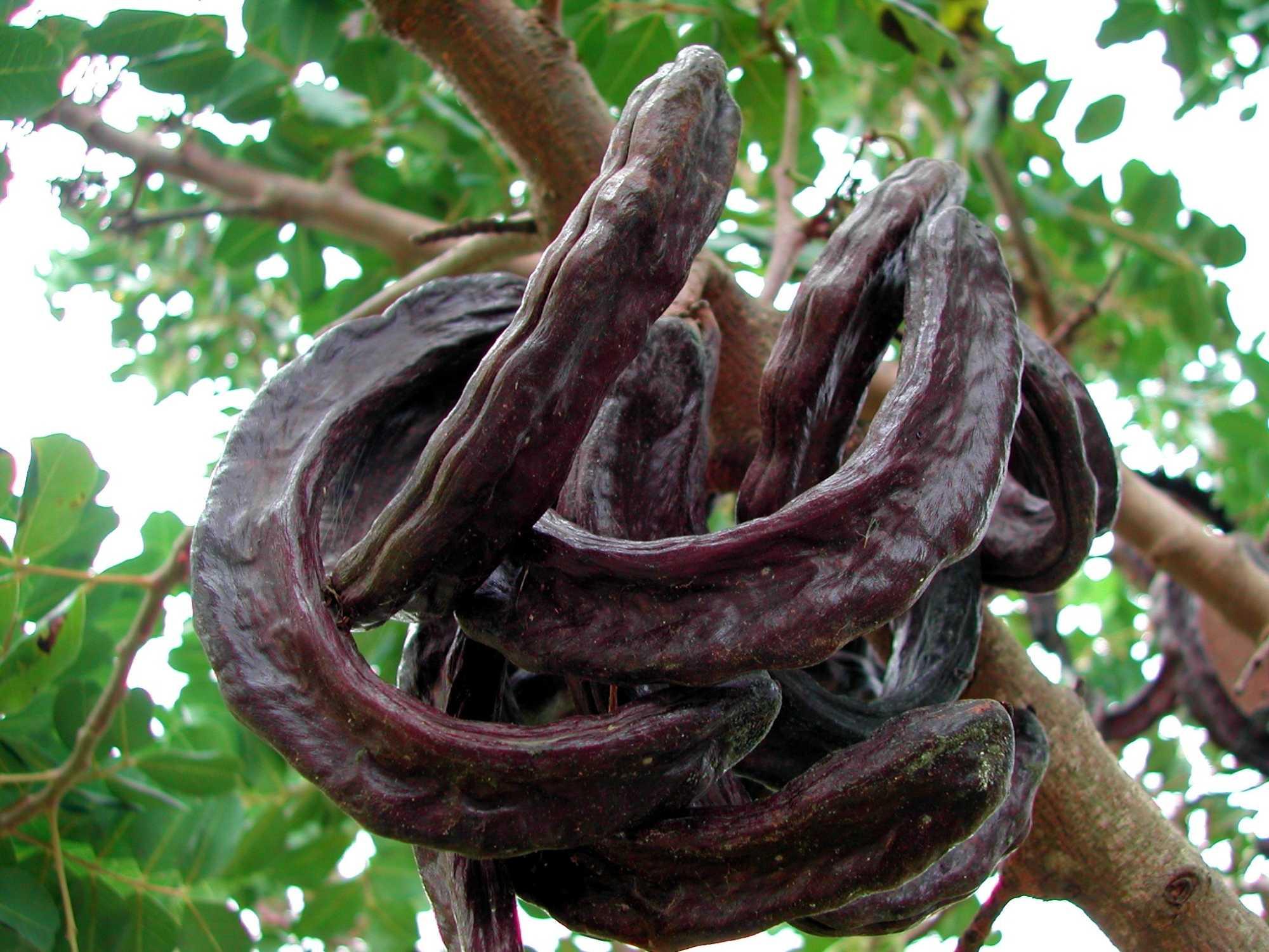 Nein, keine Goldstücke, sondern die Hülsenfrüchte des Johannisbrotbaums