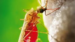 Mit Gentechnik gegen Malaria-Mücken