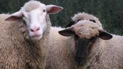 Schafe, Schwarz, Weiß