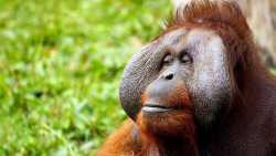 Orang Utan, Affe, Menschenaffe