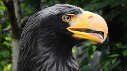 Niederlande: Adler werden nicht zum Drohnenfang eingesetzt