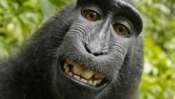 Streit um Affen-Selfie geht weiter: Vergleich hinfällig, Urteil angekündigt