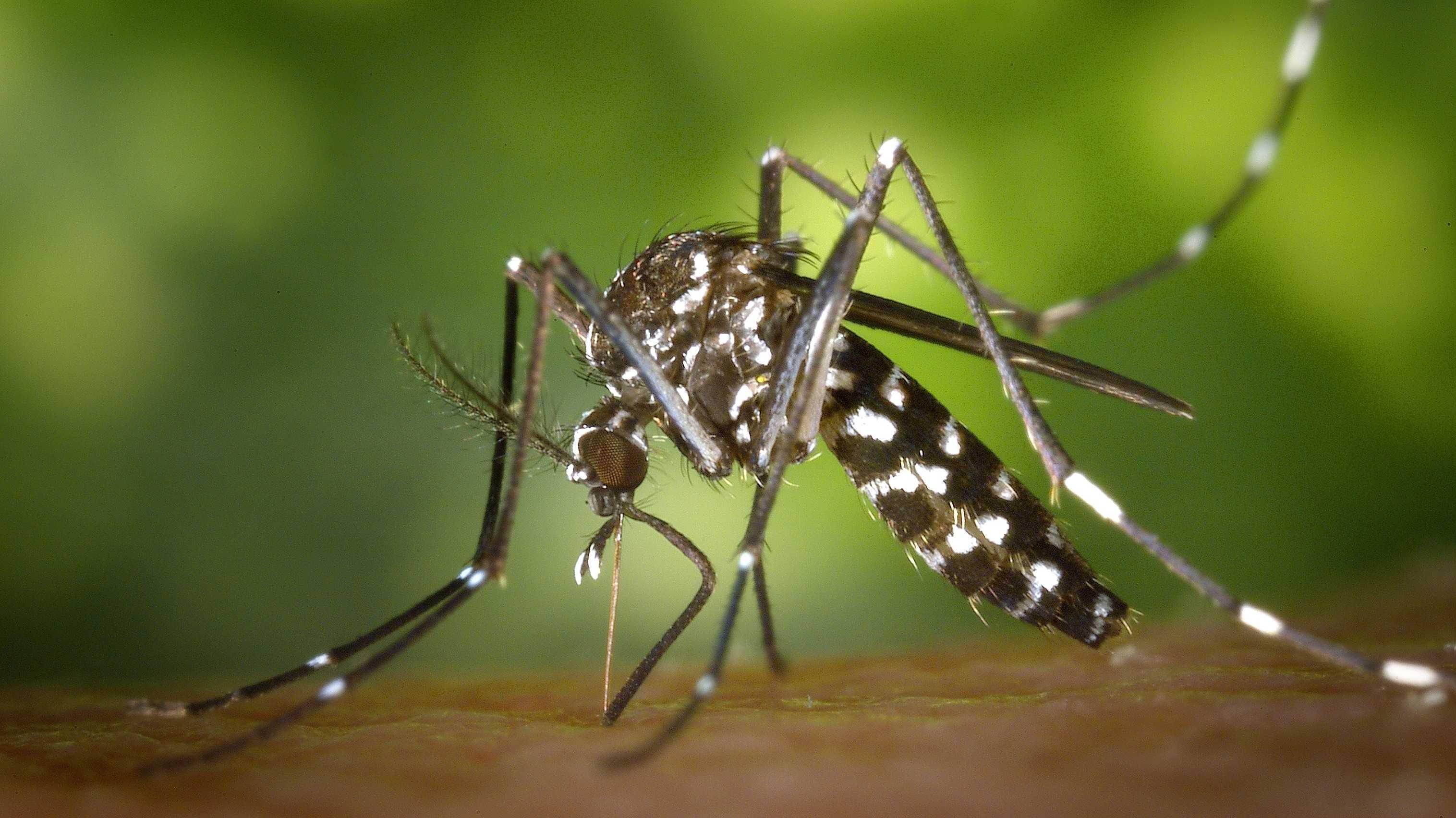 Sterile Männchen reduzieren Tigermücken-Population