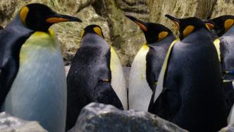 Gruppe Königspinguine auf Felsen