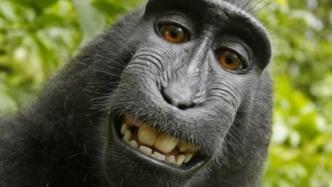 Rechtsstreit um Selfie von Makake Naruto ruiniert Fotografen