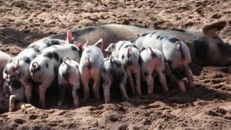 Ferkel, Schweine