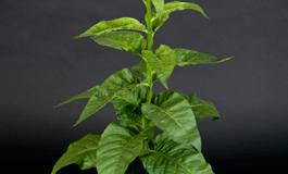 Turbo-Photosynthese gegen Hungersnöte
