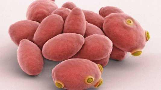Bierhefe-Zellen