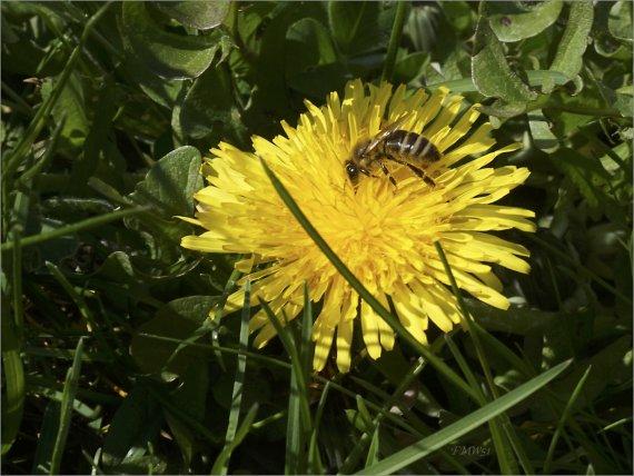 Honigbiene erntet den Löwenzahn ab von FMW51