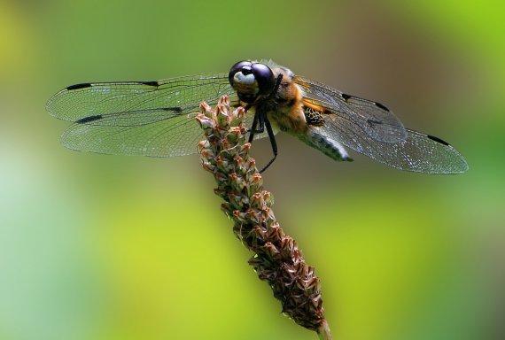 Libelle 1 von Gerd1