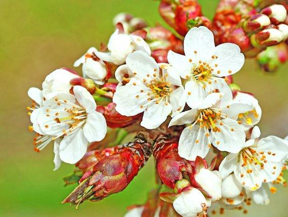 Kirschblüten von Eberhard  Schmidt-Dranske