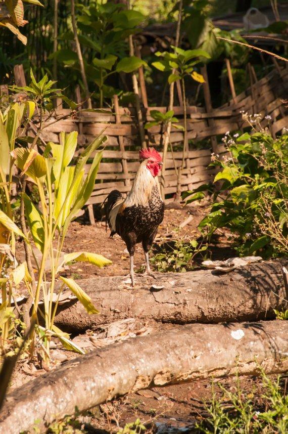 rooster von P-B
