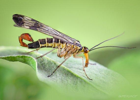 Fliegender Skorpion