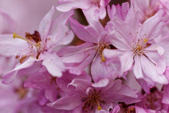 Pink Cherry Blossom 2019 - Super close von F@xe