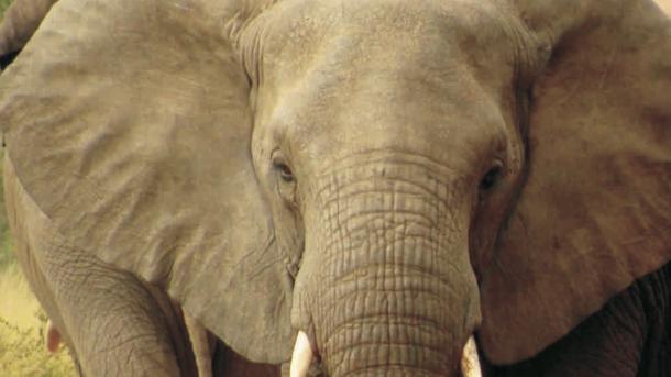 Eine Million Petitenten protestieren gegen Elfenbeinhandel auf Yahoo Japan