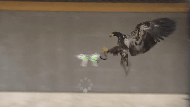 Drohnenabwehr: Niederländische Polizei trainiert Adler