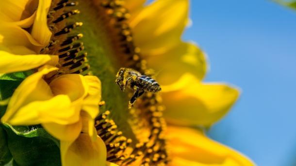 Sommer, Sonneqnblume, Biene