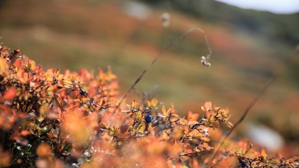 Blaubeeren, Herbst, Hügel