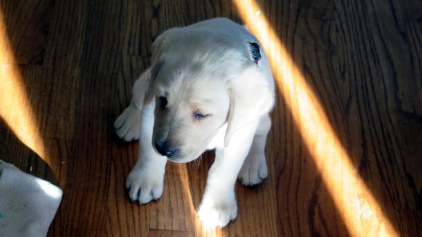 Weißer Labrador-Welpe