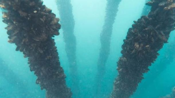 Nachhaltigkeit: Muscheln statt Zuchtlachs