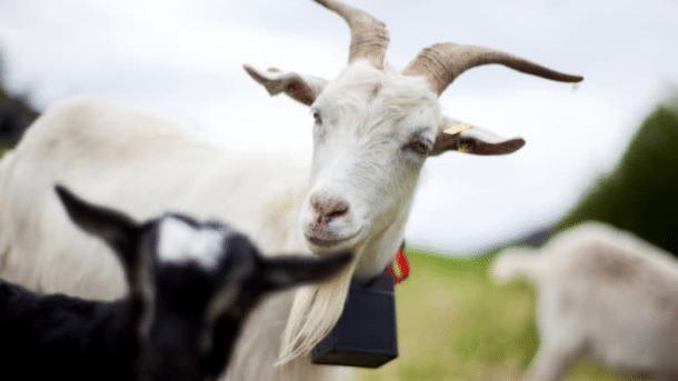 GPS-Halsbänder helfen bei der Landschaftspflege