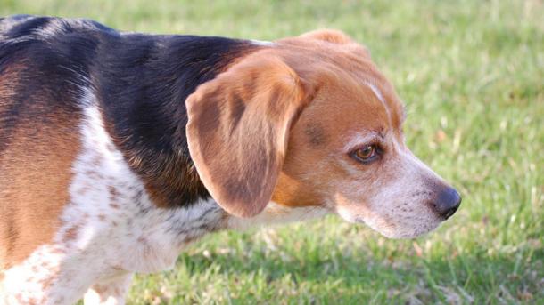 Hunde als Testobjekte im CRISPR-Einsatz