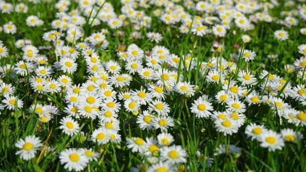 Gänseblümchen, Tausendschön, Blumen, Wiese