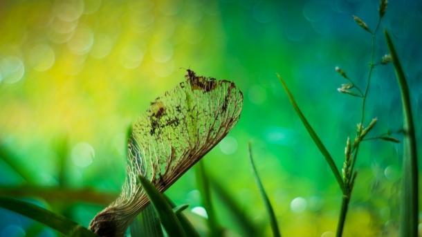 Ahornsamen mit Insekt