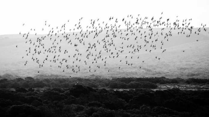 Schwarm, Vögel
