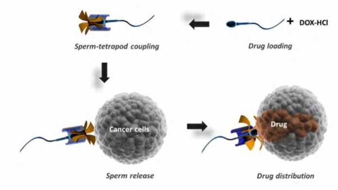 Eingespannte Spermazellen sollen Medikamente direkt in Krebszellen befördern