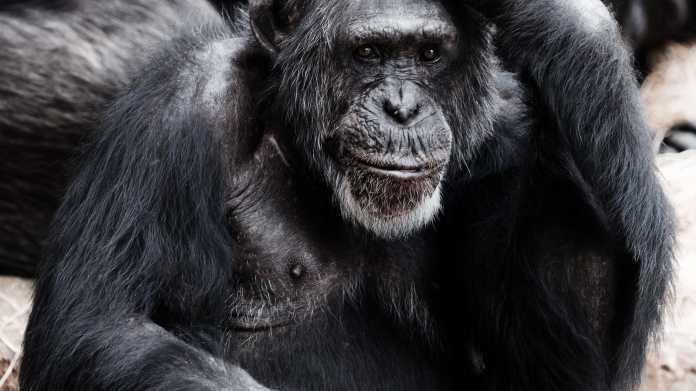 Schimpanse, Affe
