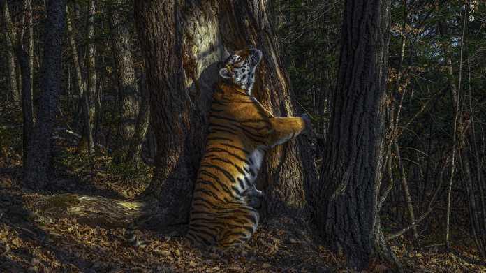 Wenn Tiger Bäume umarmen: Die besten Wildlife-Fotos 2020