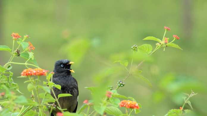 Schwarzer Vogel sitzt in blühendem Strauch