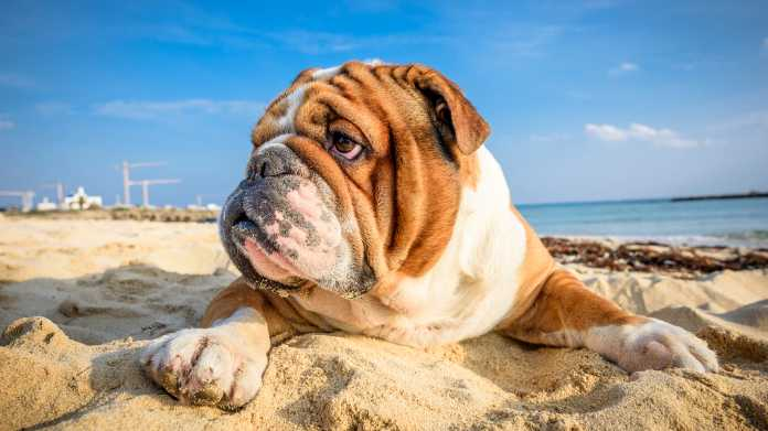 Englische Bulldogge am Strand