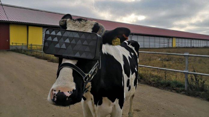 Russische Kühe testen Videobrillen