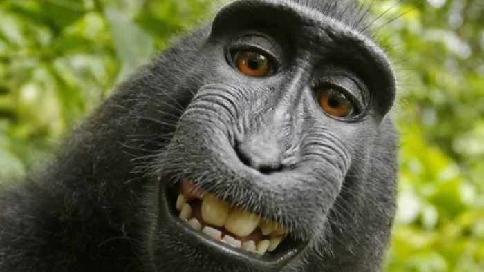 US-Urteil: Affe Naruto hat kein Copyright
