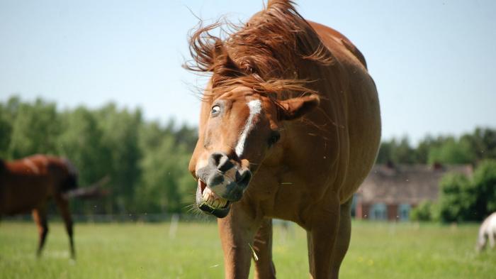 Pony, Pferd