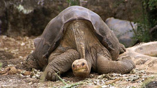 Moderne Zucht soll zwei ausgestorbene Riesenschildkröten zurückbringen