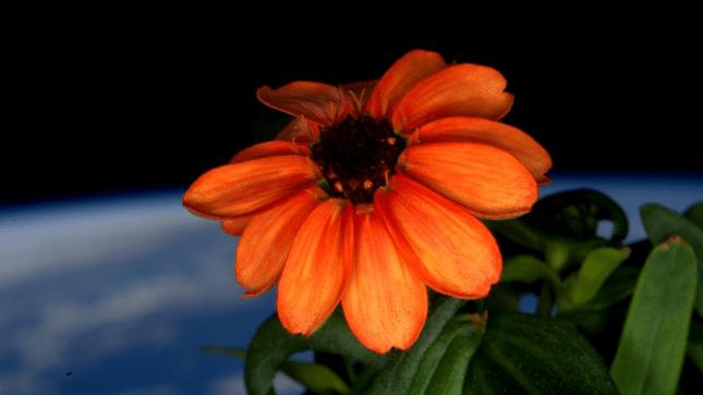 """US-Astronaut: Erste """"Weltraum-Blume"""" auf Raumstation ISS erblüht"""