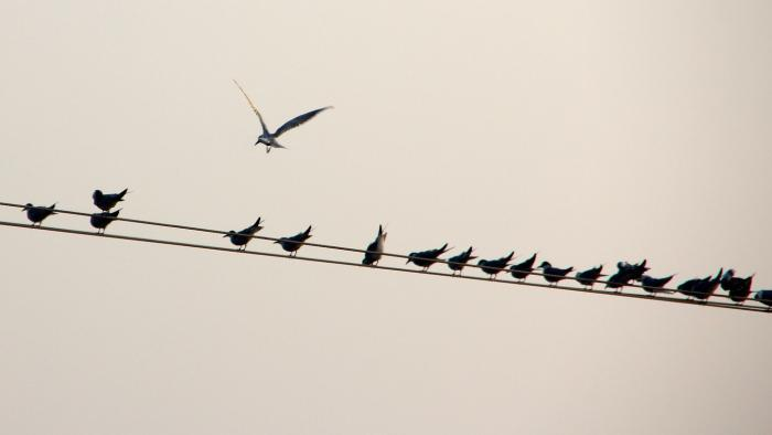 Vögel, Linie, Schwarm