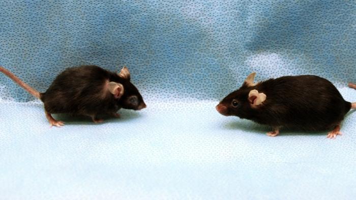 Studie: Entfernung inaktiver Zellen verlängert bei Mäusen das Leben