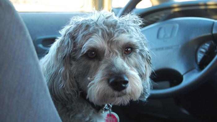 Kleiner Hund am Volant