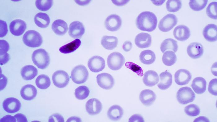 Genetisch geschwächter Malaria-Erreger zeigt Wirkung als Impfstoff