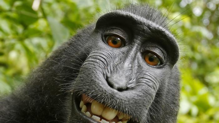 """Beim """"Affen-Selfie"""" bahnt sich ein Vergleich an"""