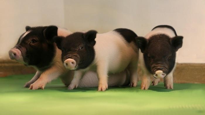 Forscher deaktivieren mit CRISPR Virus-Familie in Schweinen