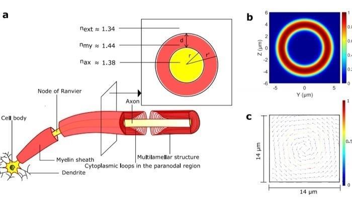Nervenverbindungen im Gehirn könnten optische Signale leiten