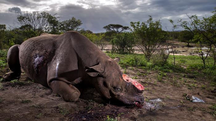Wildlife-Fotograf des Jahres: Gewinnerbild zeigt getötetes Nashorn