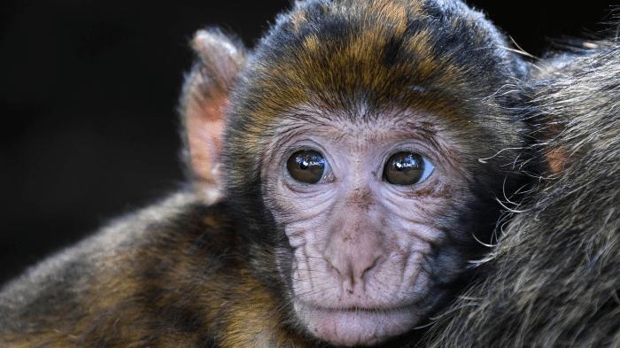 Tierversuche: VW, BMW und Daimler missbrauchen Affen für Diesel-Abgastests