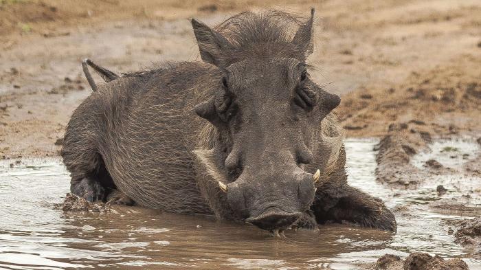 Warzenschwein, Schlamm